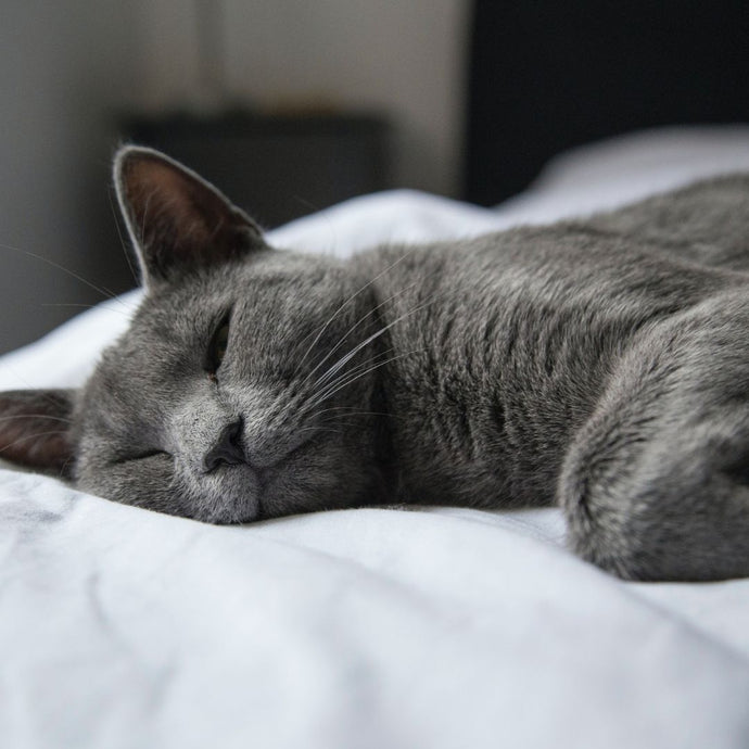 The Smart And Cute Russian Blue Kitty!