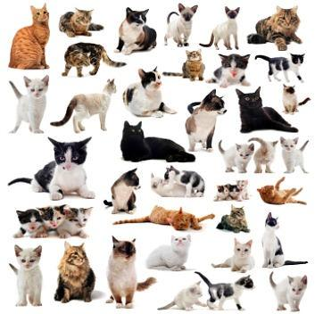 Which cat breeds match your PURRsonality? - Part 2.