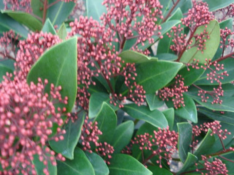 Skimmia rubella Close up