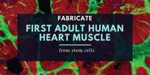 Fabricate the first adult human heart muscle from stem cells