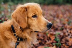 Paws & Patch Newsletter Oktober 2018 Golden Retriever