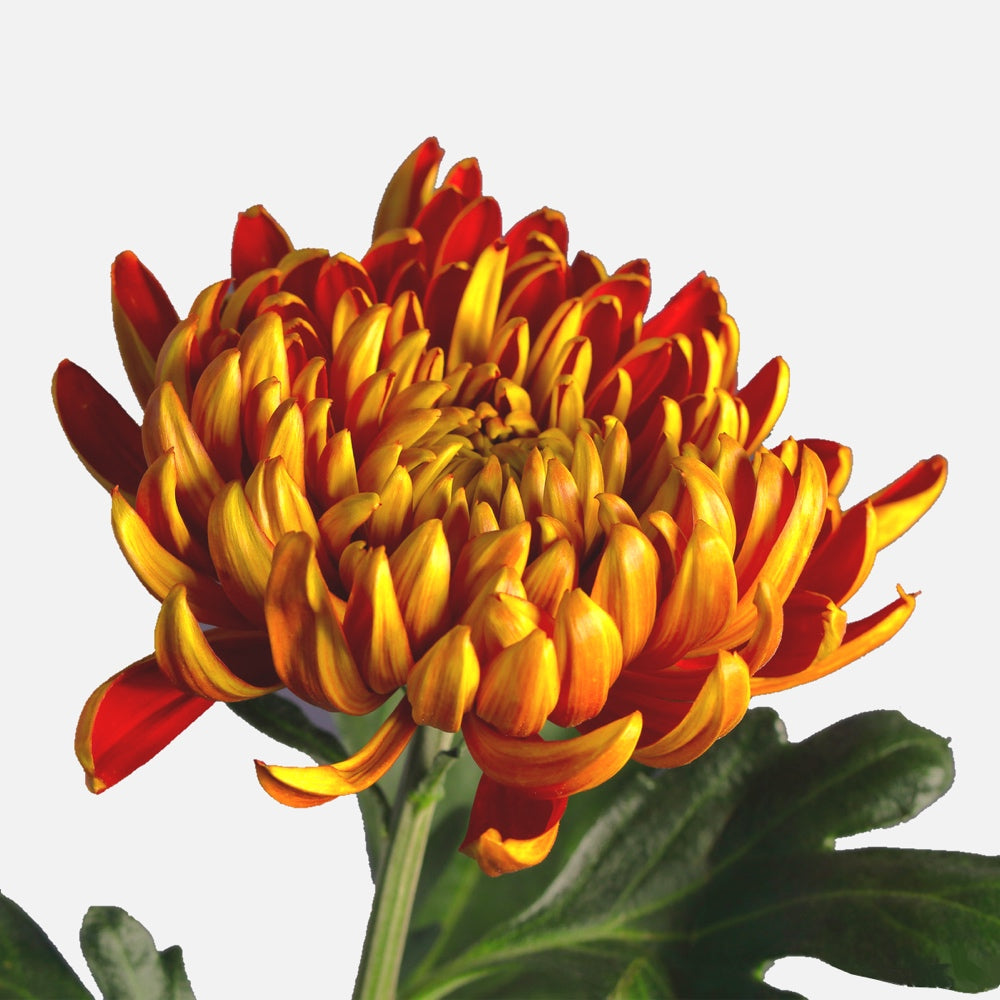 Chrysanthemen lava