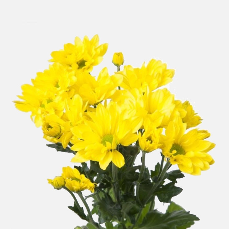 Spray Chrysanthemen gelb