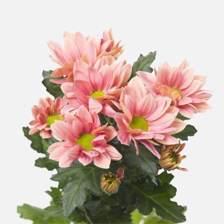 Spray Chrysanthemen lachsrosa EXP