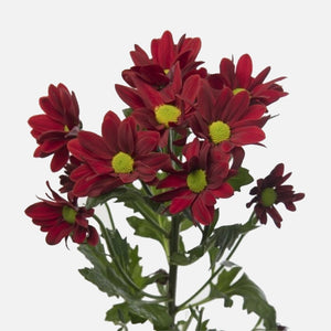 Spray Chrysanthemen rot