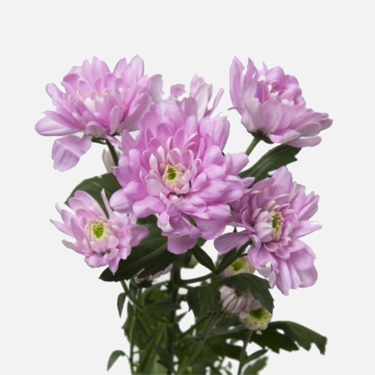 Spray Chrysanthemen rosa