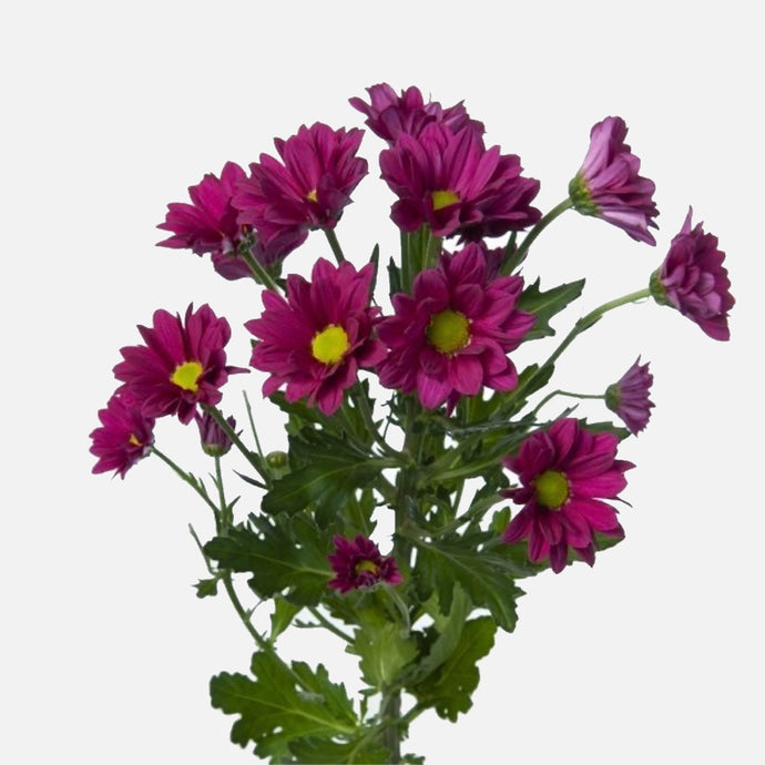 Spray Chrysanthemen violett