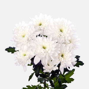 Spray Chrysanthemen weiss