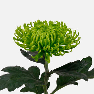 Chrysanthemen limegreen