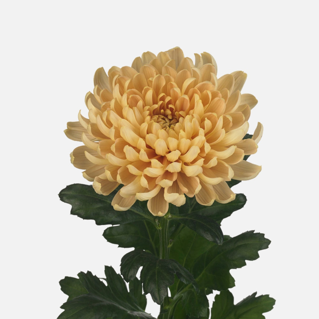 Chrysanthemen sepia