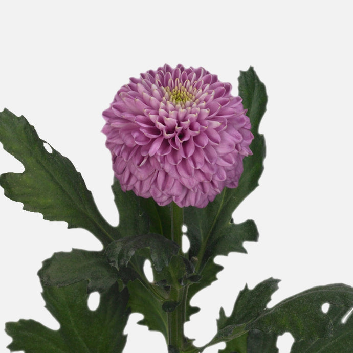 Chrysanthemen Kugel hellviolett