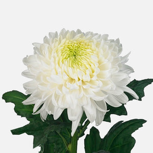 Chrysanthemen weiss