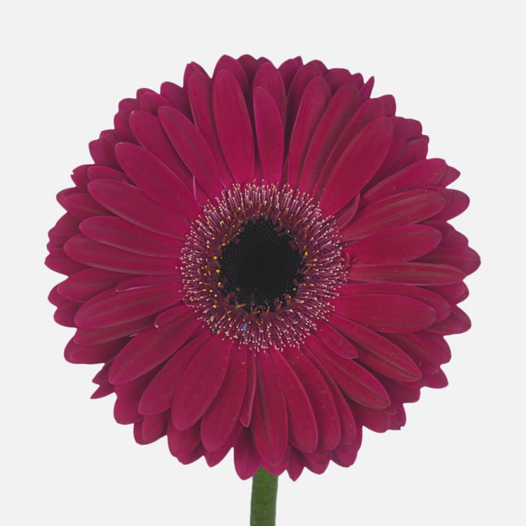 Mini Gerbera purpur
