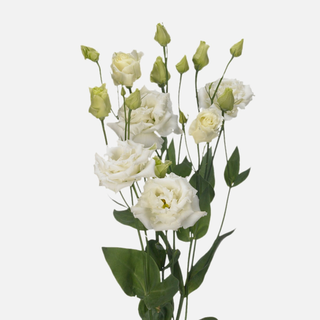 Lisianthus weiss