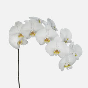 Phalaenopsis Orchideen weiss
