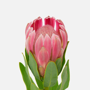Protea pink