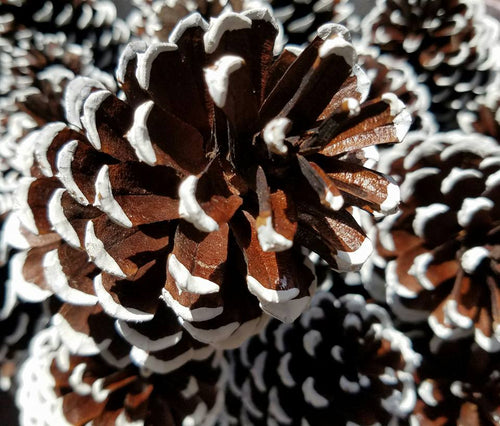 6 White snow tipped Pine Cones Hand Painted All Natural Christmas Pine Cones