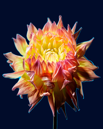 Yellow Pink Flower-Gallery Stock-Fine art print from FINEPRINT co