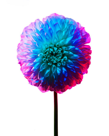 Colourful Dahlia-Gallery Stock-Fine art print from FINEPRINT co