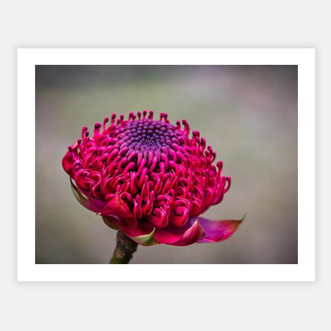 Waratah by Ross Spencer - FINEPRINT co