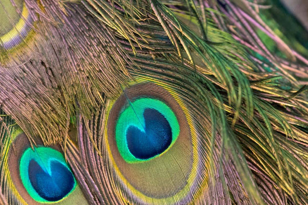 peacock-feathers by FINEPRINT co - FINEPRINT co