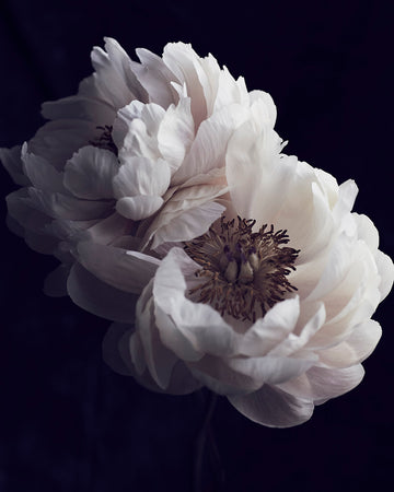 Faded Peonies-Vogue Contemporary-Fine art print from FINEPRINT co