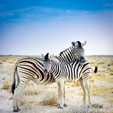 Zebra mother by Getty Images - FINEPRINT co