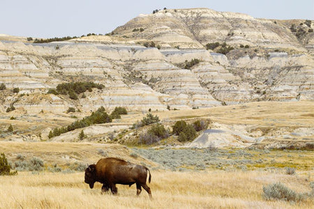 Bison roaming the prairie by Getty Images - FINEPRINT co
