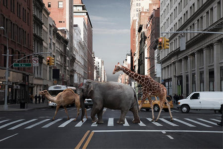 Camel, elephant and giraffe by Getty Images - FINEPRINT co