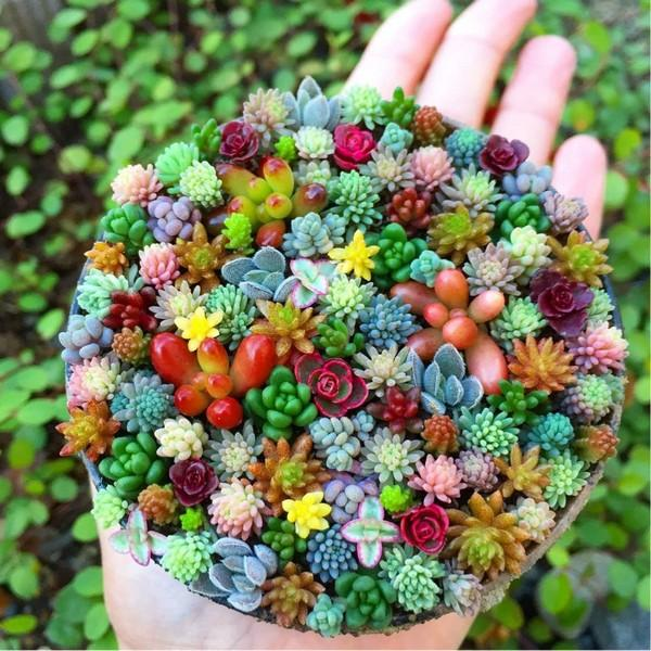Mix Of Popular Cacti Succulent Plant Seeds 100 Seeds Rainbowpick