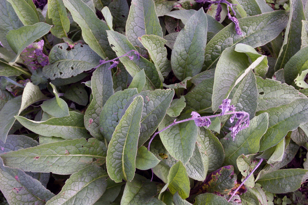 Comfrey, Superherb for muscle and joint pain