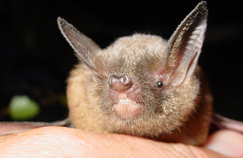 New Zealand has two species of bat that are its only endemic land mammals