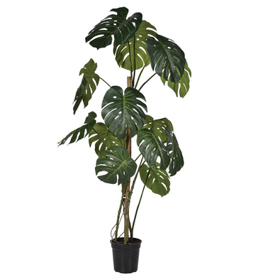 LARGE PHILODENDRON PLANT
