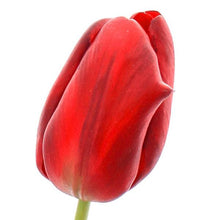 BUNCH OF RED PERFECT TULIPS