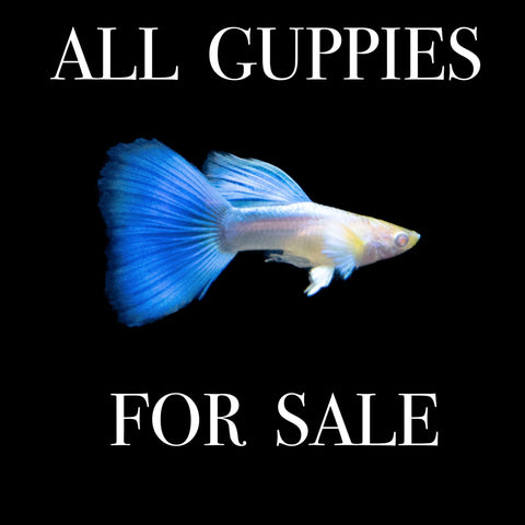 All Guppies