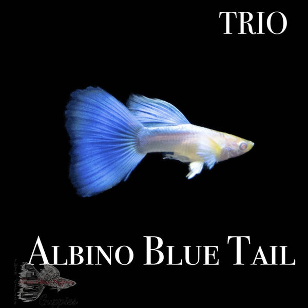 Albino Blue Tail TRIO