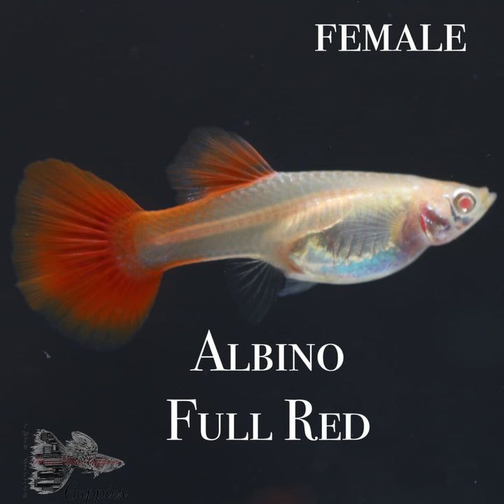 Albino Full Red PAIR