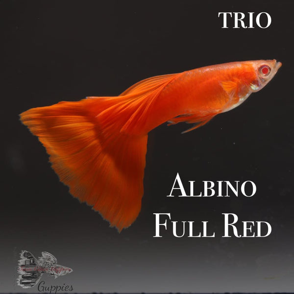Albino Full Red TRIO