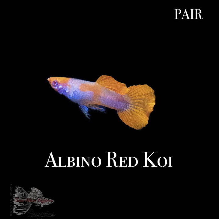 Albino Red Koi Pair Guppy