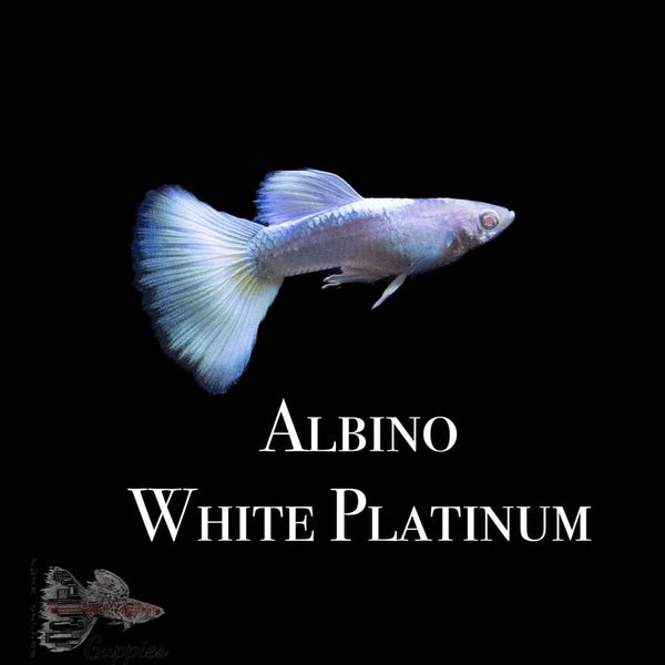 Albino White Platinum PAIR