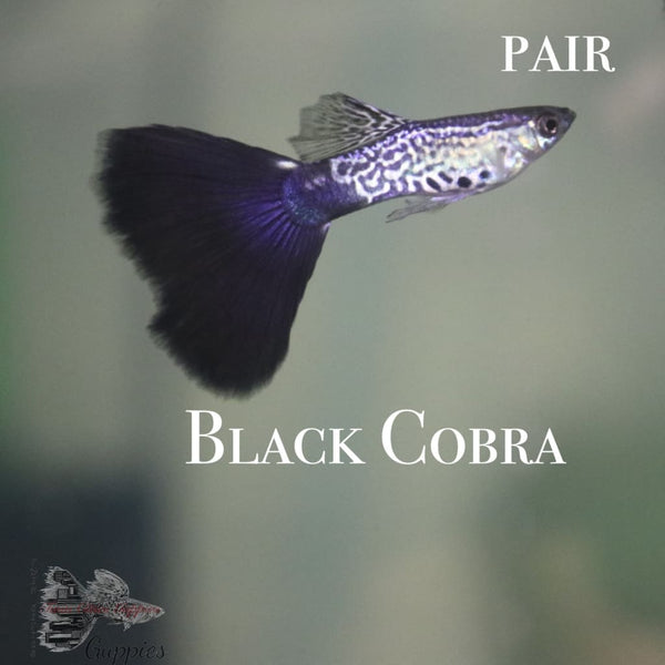 Black Cobra PAIR