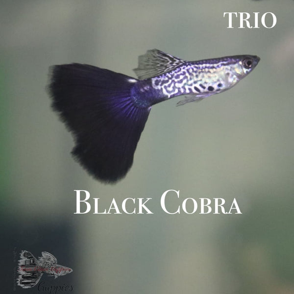 Black Cobra TRIO