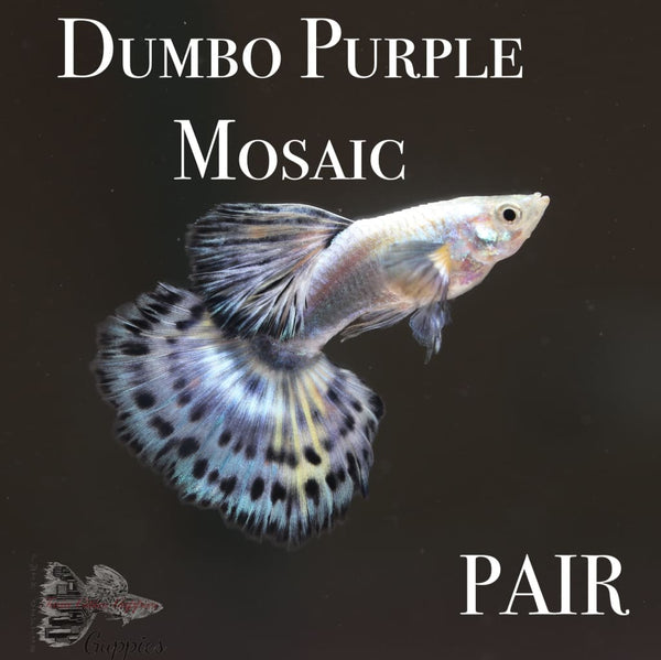 Dumbo Purple Mosaic PAIR