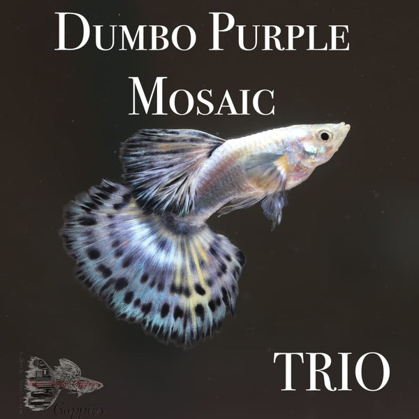 Dumbo Purple Mosaic TRIO