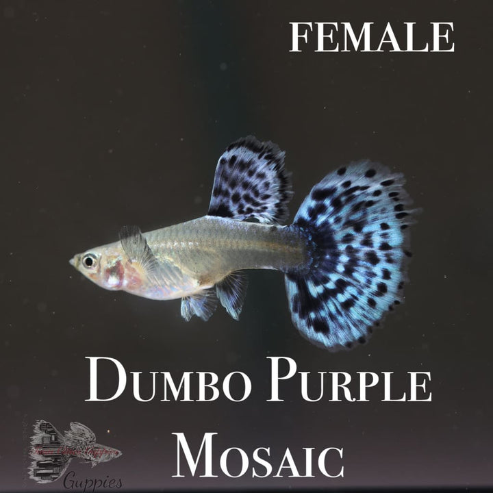 Dumbo Purple Mosaic TRIO Guppy