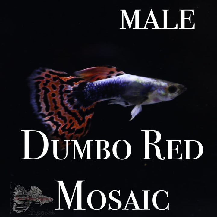 Dumbo Red Mosaic PAIR