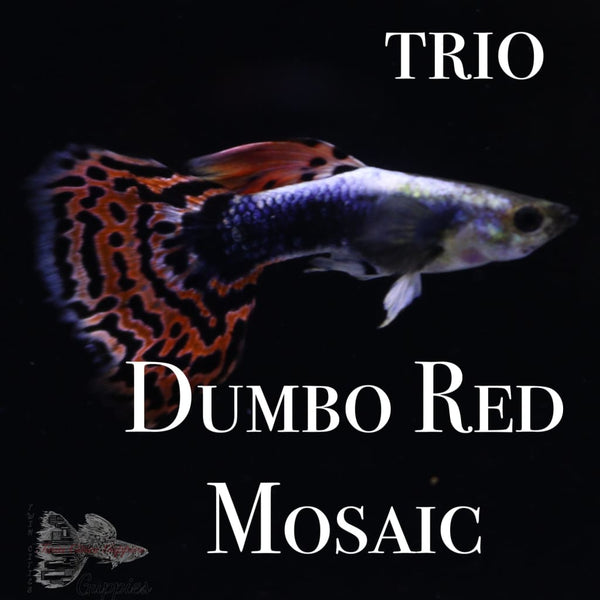 Dumbo Red Mosaic TRIO