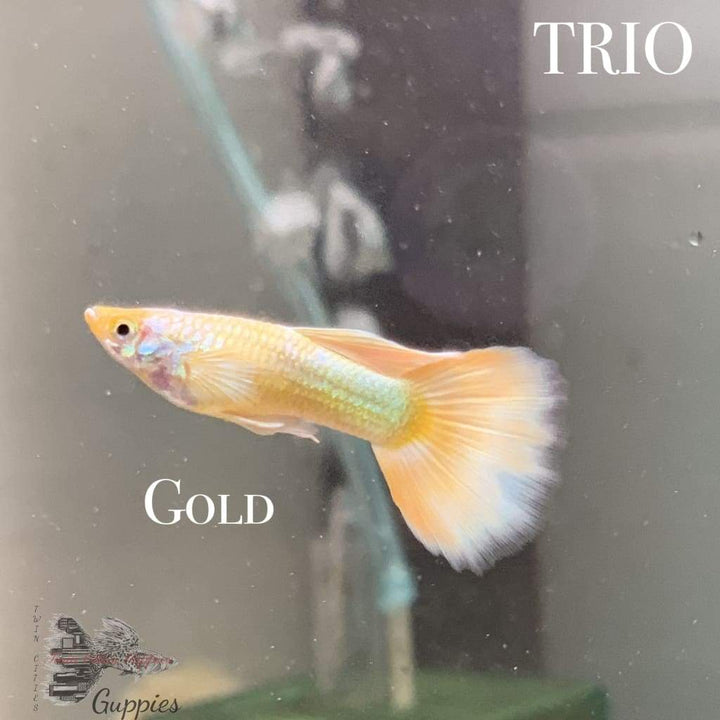 Gold Trio Trio Guppy