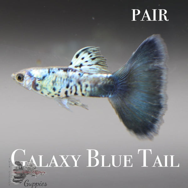 Galaxy Blue Tail PAIR