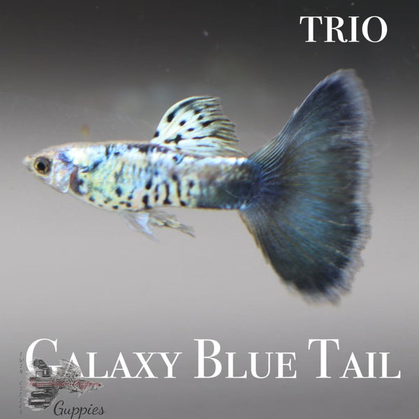 Galaxy Blue Tail Trio